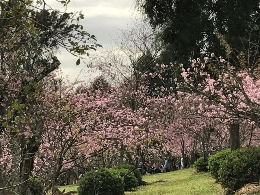 Mais uma edição da Festa das Cerejeiras, no Parque do Carmo