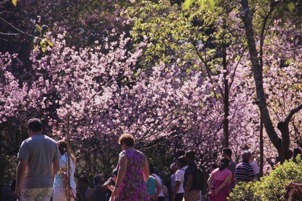 Festa das Cerejeiras no Parque do Carmo acontece na próxima semana