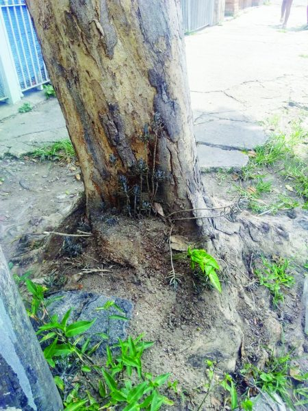 Árvore condenada na Rua Comendador Gil Pinheiro