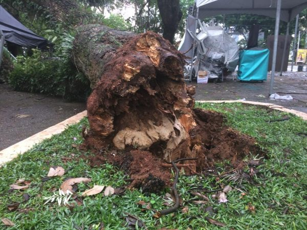 Árvores – Frequência de quedas irá aumentar